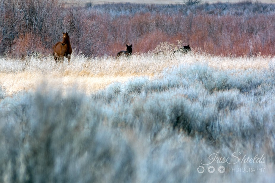 These are the wild horses that live on the east side of the Sierras. Often they can be found in W...