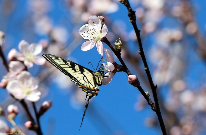 Swallowtail Butterfly Peach Tree Blossoms by normarobbinswilliams - Beautiful Butterflies Photo Contest