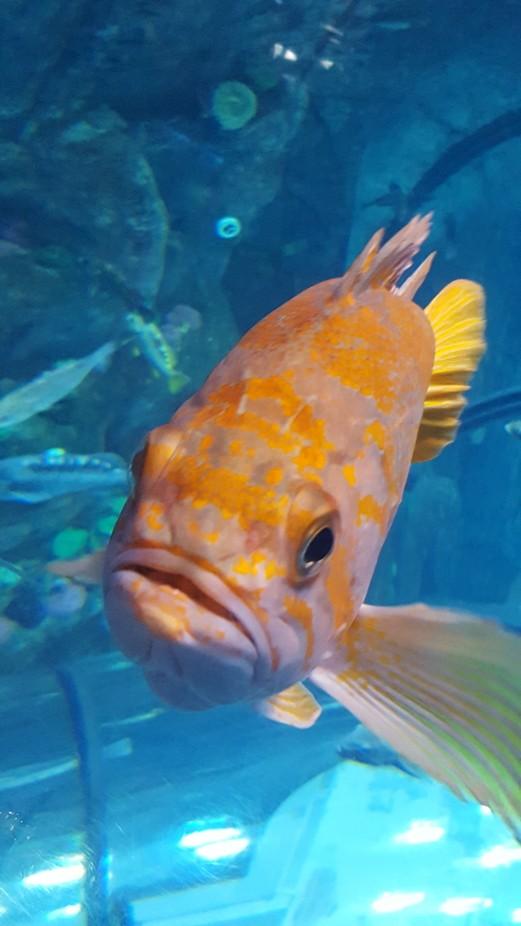 It was fun photographing this fish. This aquarium fish (Quebec city aquarium in Canada) was very ...