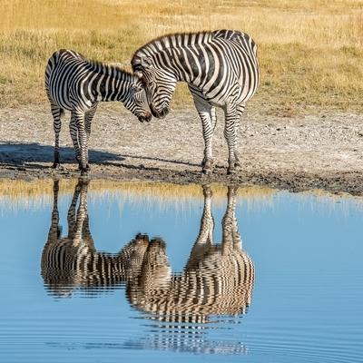 Bruchell Zebras