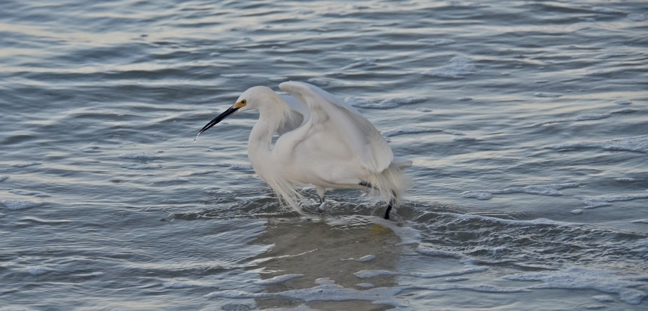 A lively Snowy Egret feeding in the early morning on the coast of Sanibel Island