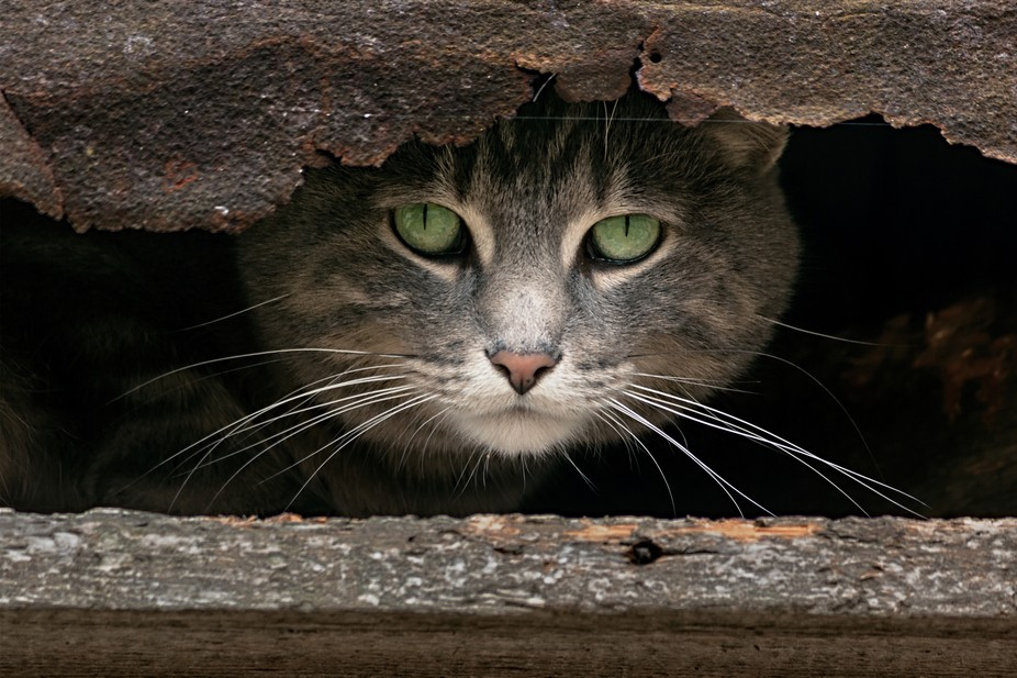 Image of a cat peering out from inside the rotted eaves of an old shed. Shot taken in Cambridge O...