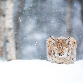 Lynx keeping warm in the Winter cold