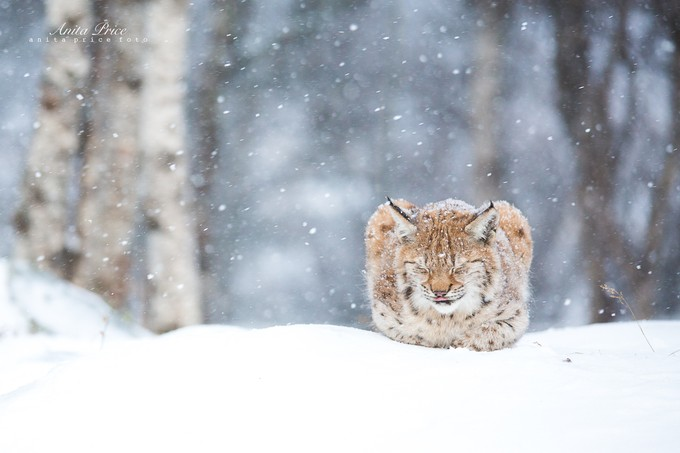Winter Lynx by anitaprice - Isolated Photo Contest
