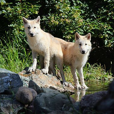 This is Axel and Grayson, the newest members of the Ambassador Pack at the International Wolf Center.  This photo was taken they day they were introduced into the main enclosure.