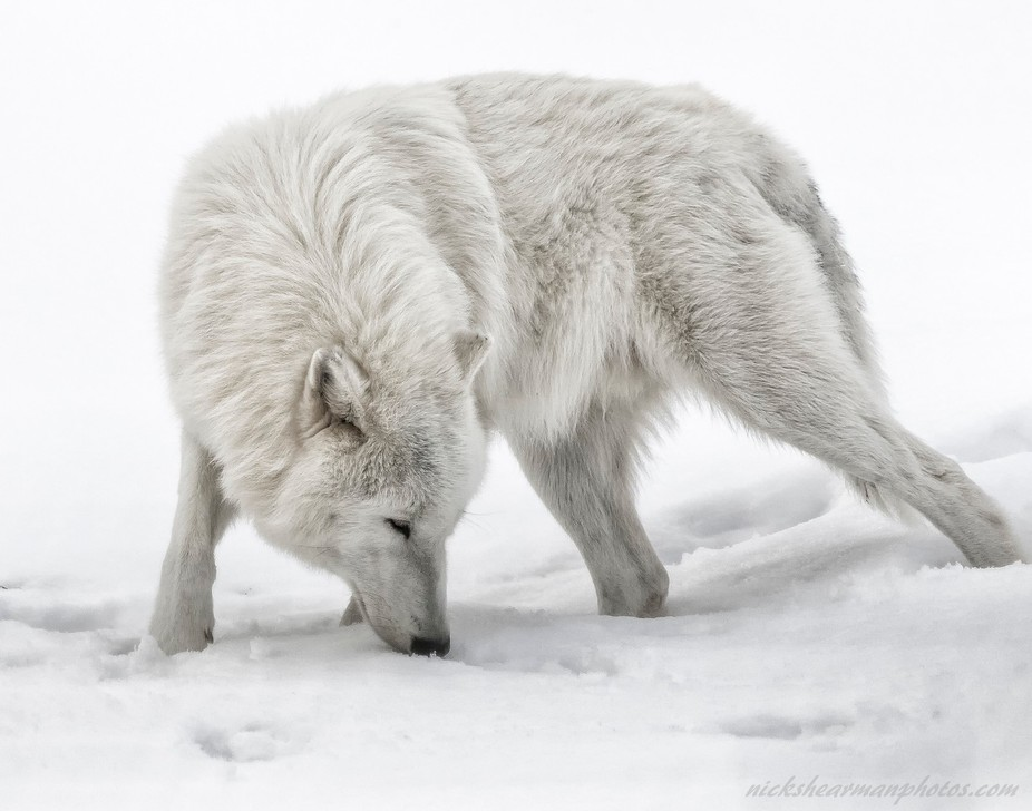 Checking the scent  ,Arctic Wolf in the snow ,Metro Toronto zoo ,Ontario