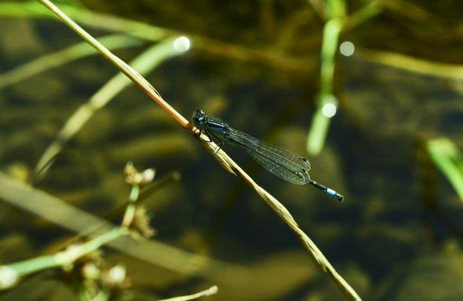 Picture of a Damselfly taken out on a family walk