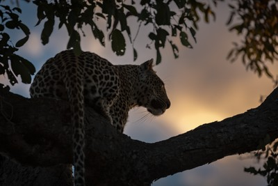 Leopard Watch, Rock Fig - Umlani Bush Camp, South Africa, 7.2016- (JHB11156)