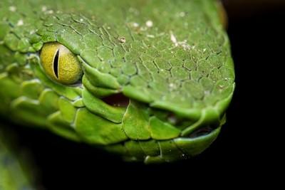 Green Pit Viper Stare