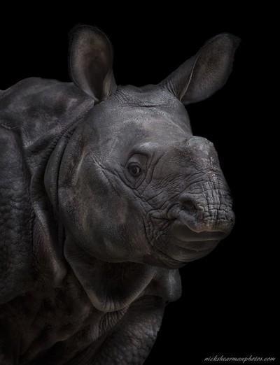 _MG_1046-portrait of anendangered Indian Rhino-nickshearmanphotos.com