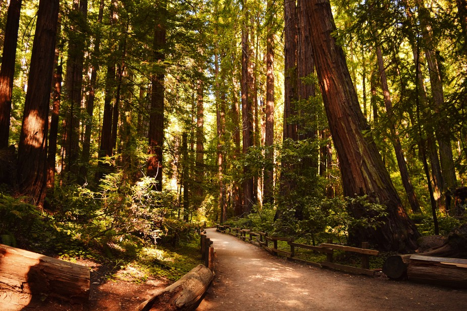 A sunlit path in Muir Woods where beautiful redwoods loomed above.