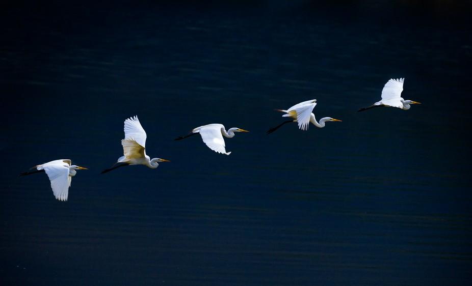 Multiple exposure of blue heron in flight.