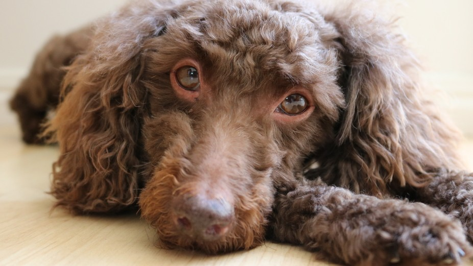 This gentle boy has the most lovin and loyal gaze. He is the most affectionate companion one woul...