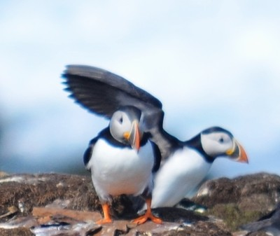 Puffin sheltering friend