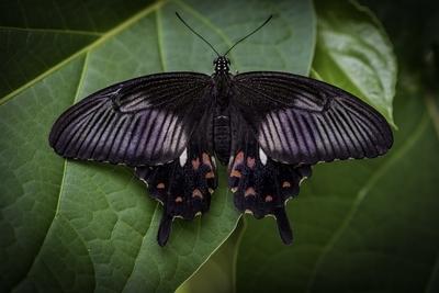 Black Butterfly, Bali