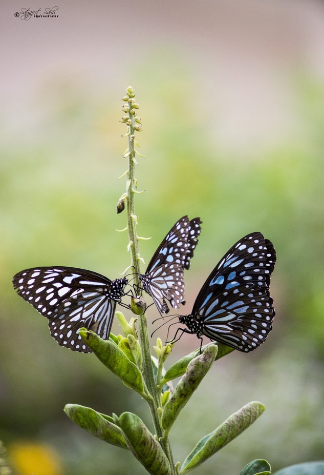 Blue tigers by Sjeet27 - Beautiful Butterflies Photo Contest