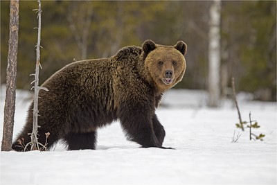 Brown bear just out of hibernation