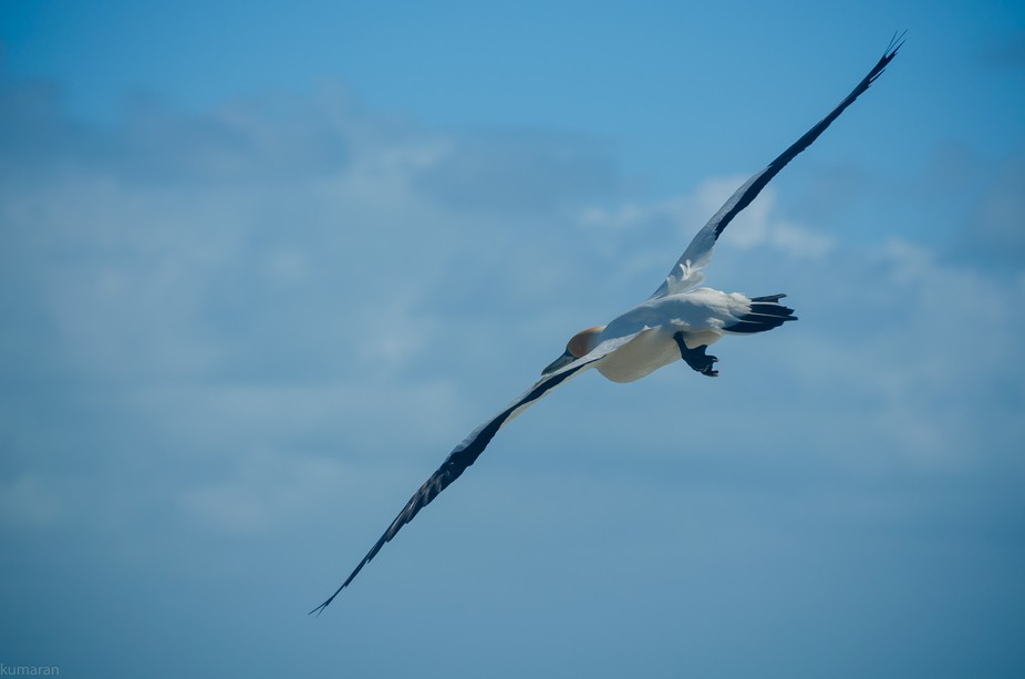 Taken at Muriwai beach Auckland. Place of Gannet's colony
