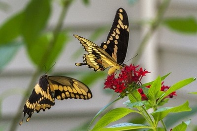 Tiger swallowtail courtship
