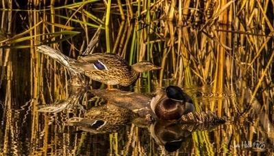 morning ducks-2