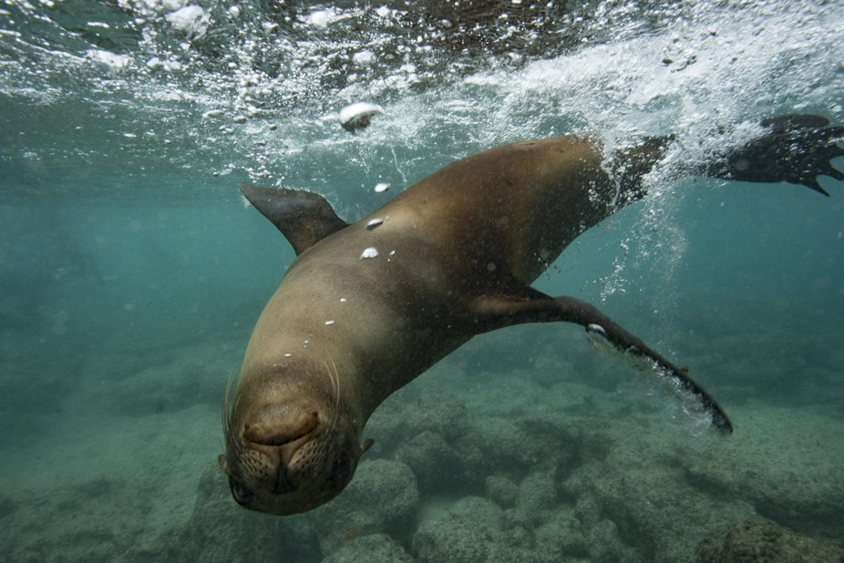 A wild sealion that play with us.