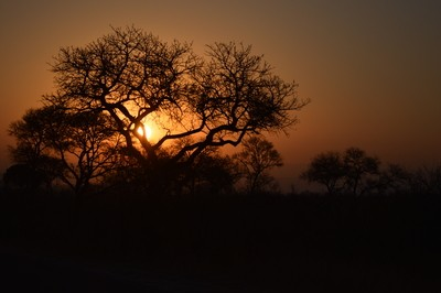 acacia tree in the sunset
