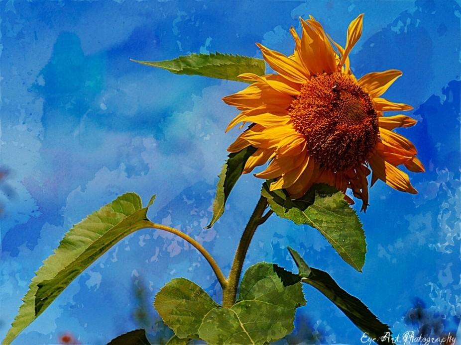 Single Sunflower basking proudly in the sunshine.