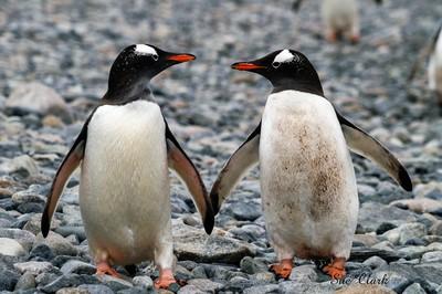 Gentoo Penguin couple - Antarctica