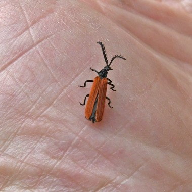 Redwinged_Lycid_Beetle   closer
