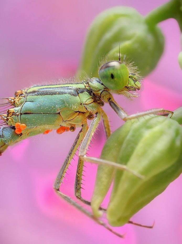 COMMON BLUETAIL by WolfAvni - Green Eyes Photo Contest