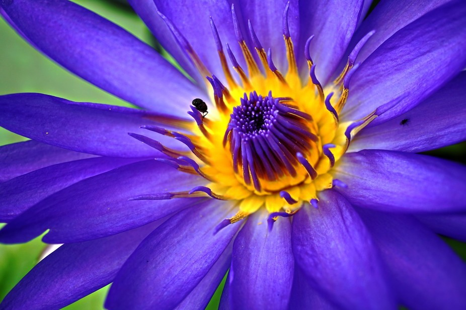 Close up of purple water lily in Hallim Park, Jeju, South Korea