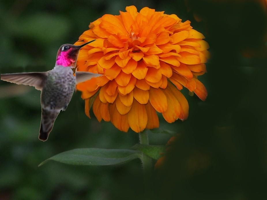 my favorite bird Humming bird loves bright colored zinnia. My garden