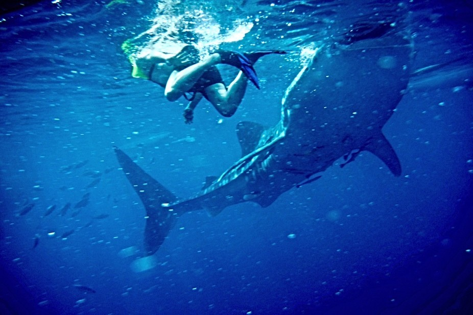 A snorkeling adventure with wild whale sharks in Cebu, Philippines.