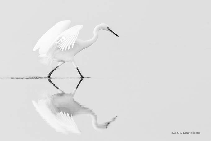 Little egret by sarangbhand lrps the color white photo contest