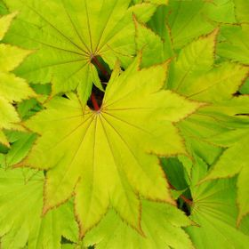 Maple leaves, small tree in our garden