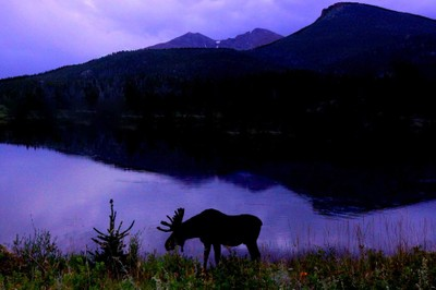 Evening Moose Appearance