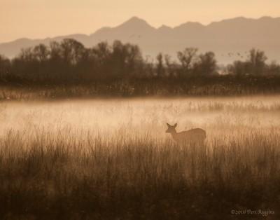 Foggy Morning Doe
