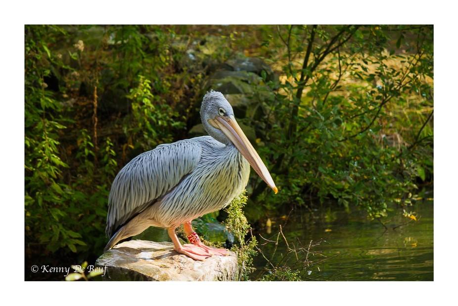 Pelican on riverbank
