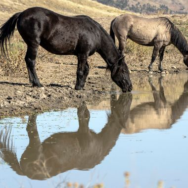 Four Horses Drinking