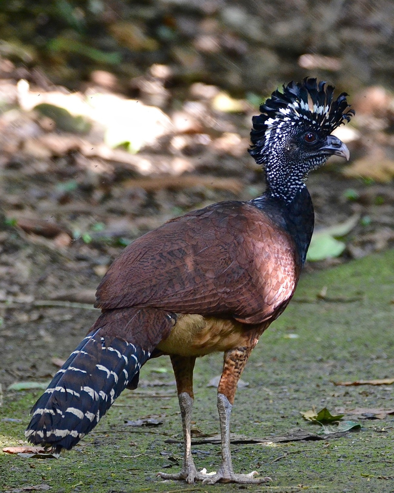 The great curassow (Crax rubra) is a 36-inch tall, hearty bird. All great curassows have a peak of forward-curling feathers on their heads, and long tails. The base of the Male Great Curassow's bill is yellow with a round bulge. The coloring of the females varies; they can be black or chestnut-colored with black or white bars and their heads and crest may be striped with black and white. The males are a lustrous blue or black, and have white bellies. They have long lifespans (up to 24 years!) and a low rate of reproduction.  While the range of the great curassow extends from southern Mexico to western Ecuador, their habitat is usually limited to national parks and reserves.  This photo was taken at the Organization for Tropical Studies  La Selva Biological Station in Costa Rica.
