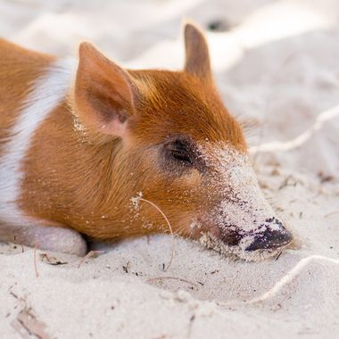 Sleeping peacefully in the shade and cool sand.