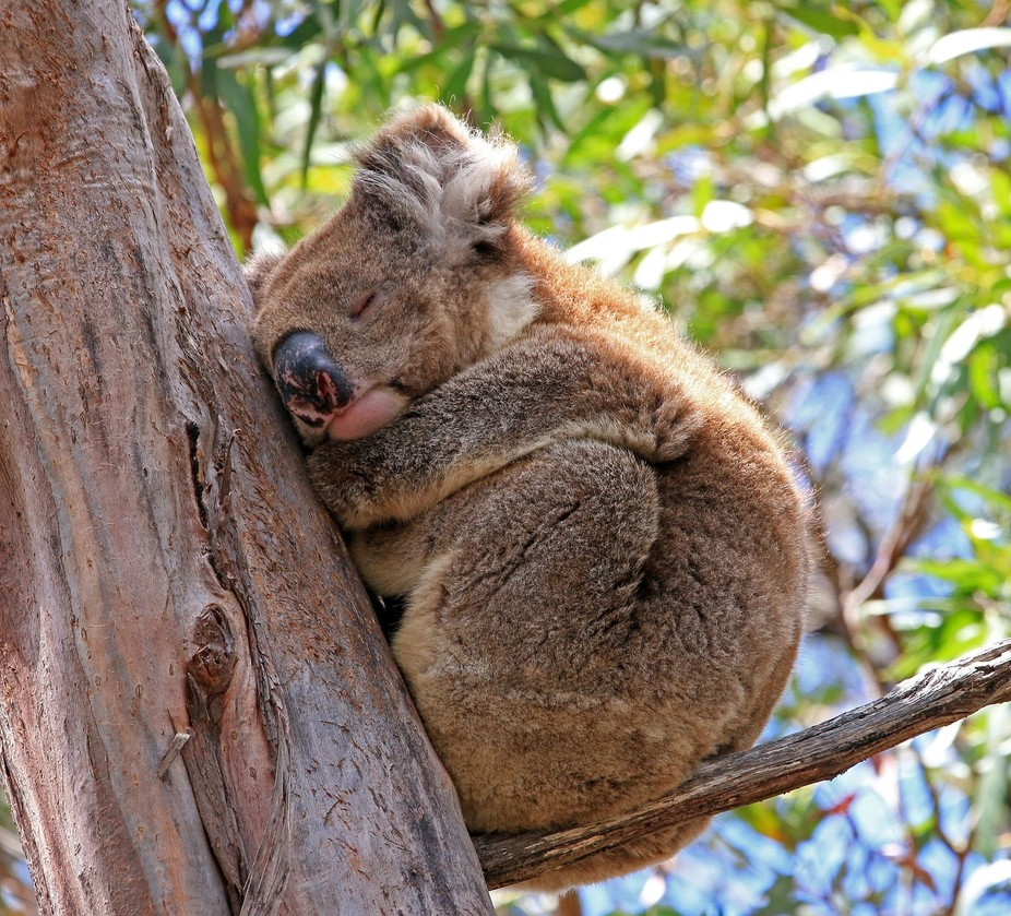 We found this koala on Kangaroo Island having a snooze after lunch. They have to be the cutest animals on the planet!
