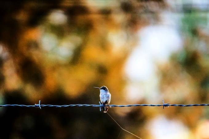 Hummingbird on a Fence by vinceyyvince - Hummingbirds Photo Contest