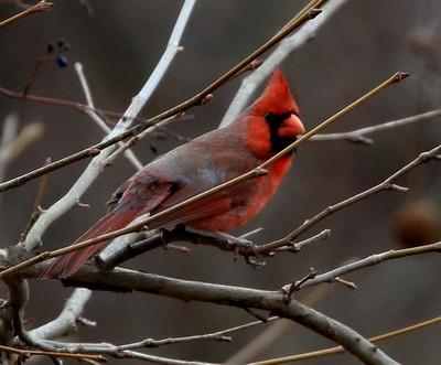 Foggy Day Redbird