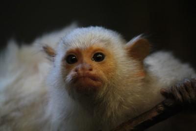 Silvery Marmoset monkey-Twycross zoo-311216-RS-canon (7)