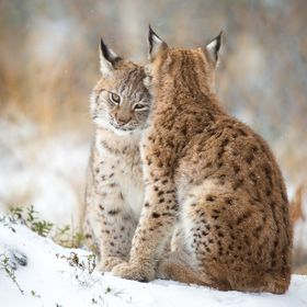 Two lynxes cuddling and hugging each other.