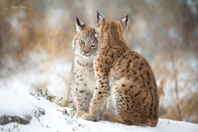 Lynx Love II by anitaprice - The Brown Color Photo Contest