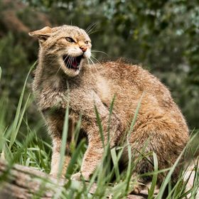 scottish wild cat snarling