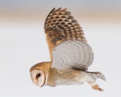 Barn Owl flyby