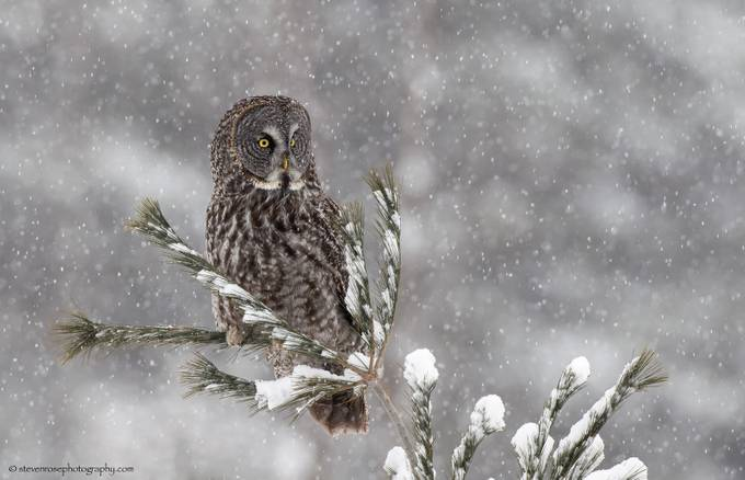 Snowy day Great Grey Owl by stevenrose - Beautiful Owls Photo Contest